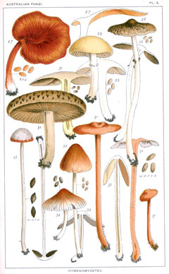Cooke Plate 5 fungi illustrations
